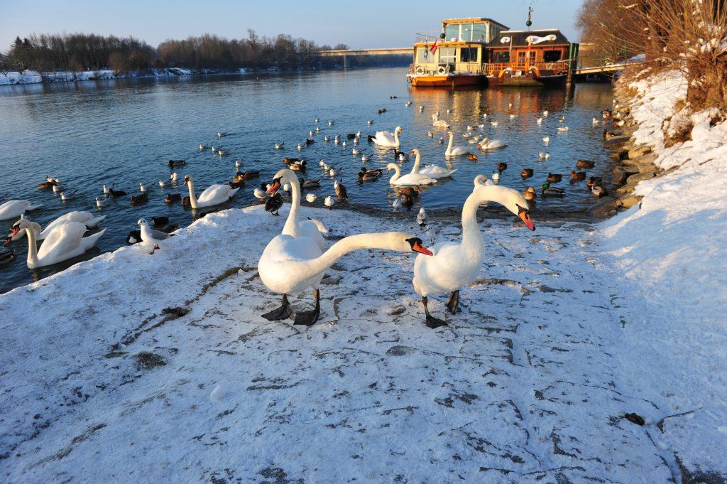Winter_Schwäne H. Berndorfer