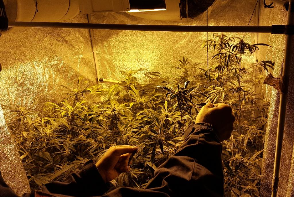Cannabis2_preview